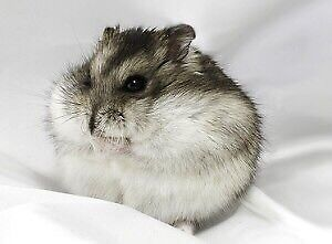 "Brown ""Russian Dwarf"" Hamster looking for a new home."