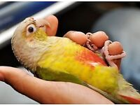 HandReared Hand Tamed Pine apple Coure parrot