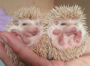 2 baby brown hedgehogs ready for their new homes