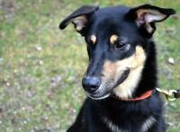 "Young Male Dog - Greyhound-German Shepherd Dog: ""Trigger"""