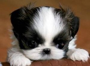 Looking for Shih tzu or maltese puppy