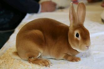 2 rabbits for sale. Minirex male and female