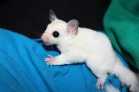 Leucistic & White-Face Blonde BABY sugar gliders