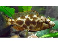 Livingstonii Cichlid for sale / Malawi cichlids - live tropical fish