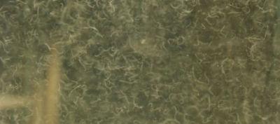 Vinegar Eel large feeder culture LIVE fish food for newborn bettas, Rams, & MORE