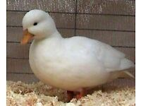 3 show white calls ducks for sale