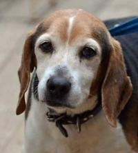 """Senior Male Dog - Beagle: """"Goober, great with kids/dogs/cat"""""""