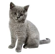 WTB - Russian Blue or British Shorthair kitten Sorell Sorell Area Preview