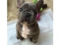 french bulldog free to a good home