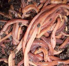 Red Wigglers Worms