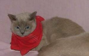 Brown Burmese Plus British Shorthair Cats Free to good home