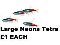 Neons Tetra 's (Large) £1 (sold out)