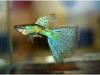 Pair if emerald green/ red grass guppy