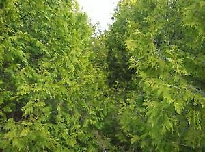 ***FALL SPECIAL ON NOW !!!!!*** Eastern white cedar trees !!! Peterborough Peterborough Area image 5