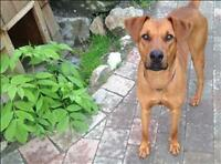 "Young Male Dog - Coonhound: ""Stanley"""