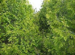 **CEDAR TREES HEDGING** **SUMMER SPECIAL ON NOW!!!!**