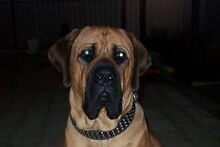 WTB : ENGLISH NEPOLIAN MASTIFF PUPPY Bassendean Bassendean Area Preview