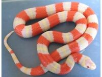 Milk snake and set up BARGAIN