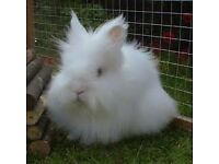 White rabbit with double outdoor hutch