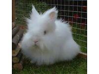 White Lionhead rabbit