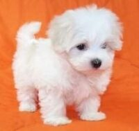 I want a maltese puppy