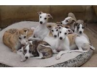 Whippet pups free to good homes