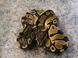 python royal yellow belly, serpent