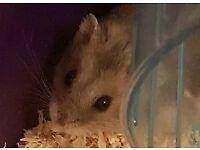 'Spike' dwarf hamster