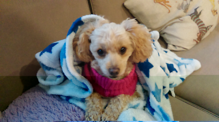 Long term Dog Sitting/ foster care for little lap dogs.