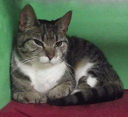 """Adult Female Cat - Domestic Short Hair: """"Tracey"""""""