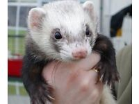 Ferret show /FERRET AWARENESS DAY/charity event