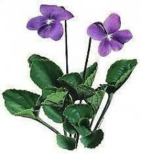 Dark-purple-violet-huge-flower-7-plants-Ground-Cover $10.00 Wollombi Cessnock Area Preview