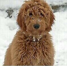 Looking for a red F1 goldendoodle puppy
