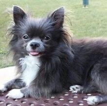 Blue pure bred male LONG HAIRED chihuahua Seville Grove Armadale Area Preview