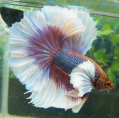 Buy sell items tickets or tech in 100 mile house for Elephant ear betta fish