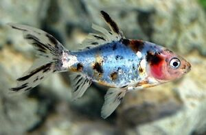 Live cold water fish ebay for Cold water aquarium fish