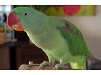 young Alexandrien parrot