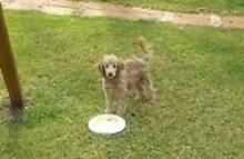 Swap Choc/latte male mini poodle Gilgai Inverell Area Preview