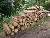 Wanted unprocessed logs / felled trees
