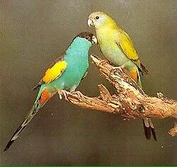 Wanted Hooded parrots