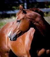 Six Year Old Quarter Horse Gelding