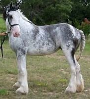 Blue Roan Clydesdale