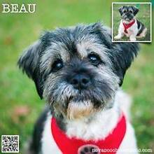 Beau - Small Llasa Apso/Terrier Mix Male Metford Maitland Area Preview