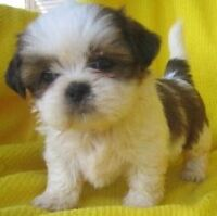 Looking for a shih tzu