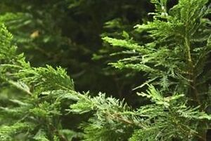 ***FALL SPECIAL ON NOW !!!!!*** Eastern white cedar trees !!! Peterborough Peterborough Area image 3