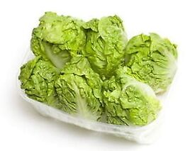 Lettuce Little Gem plants - Growing in 7cm Pot –Full of Flavour - Cut and Come - from 50p each