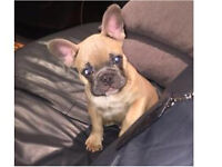 Cute French Bulldog Blue Fawn Puppy For Sale