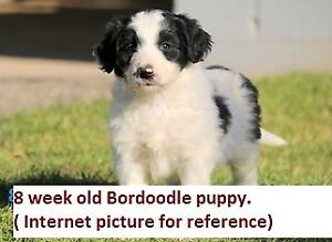 Bordoodle Puppies Ready for Homes