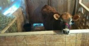 natureally Polled Jersey cow(s) or heifer(s) wanted