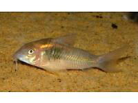 Corys for sale